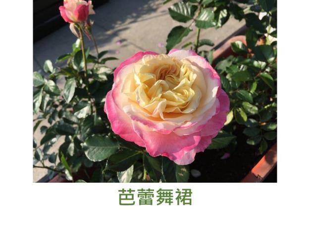育出:2018台灣.杏色心.粉邊.波浪瓣.濃香