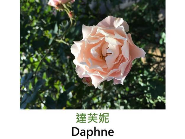中輪豐花玫瑰,育出:2014日本,粉紅轉米色轉淡綠,圓瓣波浪狀花形,中香