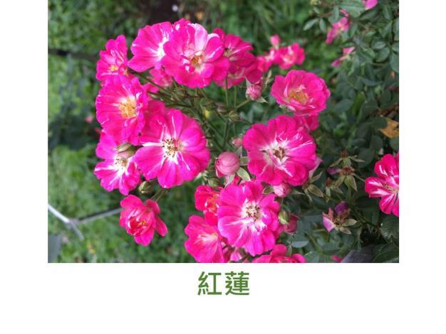 迷你豐花玫瑰,粉紅色,單瓣平開形