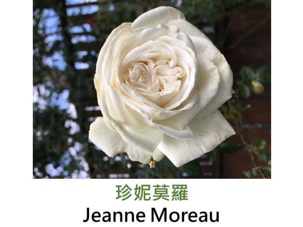 中輪灌木玫瑰,育出:2005法國,白色,圓杯古典花形,強檸檬香