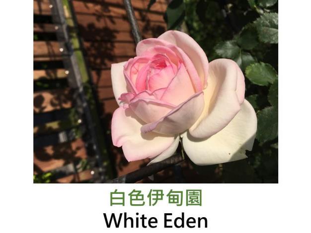 發現:1999法國,白色微帶粉,杯狀古典花形,微香