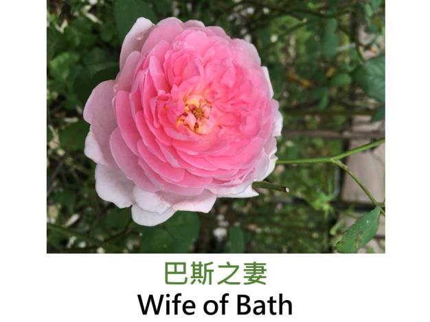 現代英國灌木玫瑰,育出:1969英國,淺粉,圓瓣杯形,微香