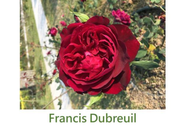 育出:1894法國,深紫紅色,杯狀花形