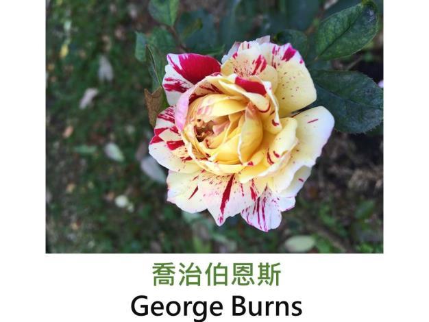 中輪豐花玫瑰,育出:1996美國,黃色紅色絞紋,圓瓣平開形,濃郁果香