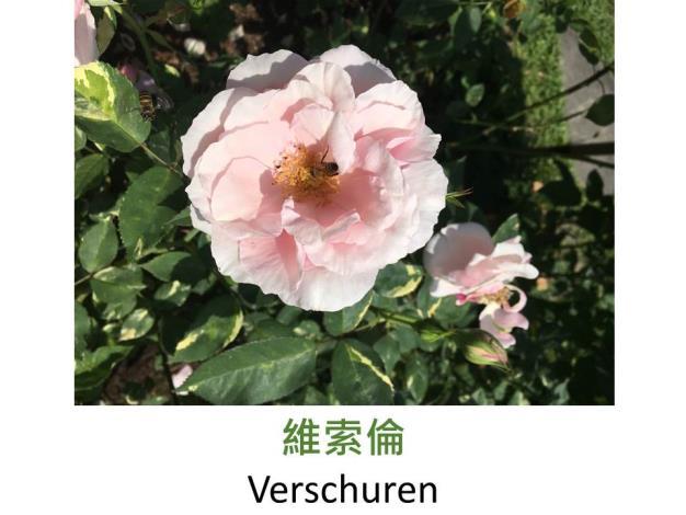 育出:1904荷蘭.斑葉.淡粉色.杯狀.濃香