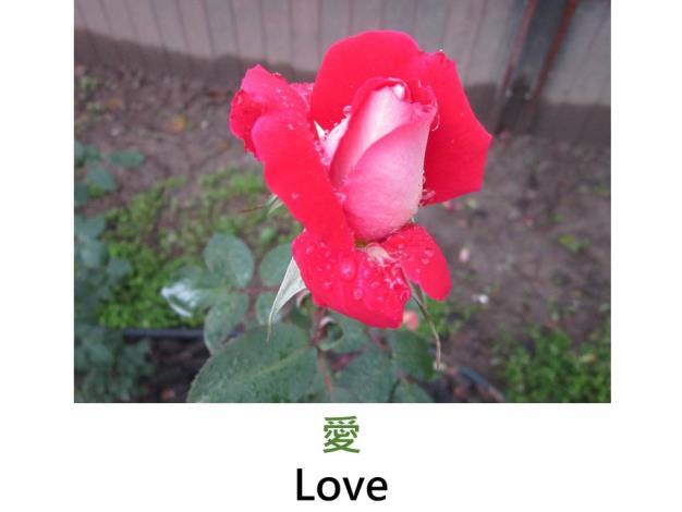 現代大花灌木玫瑰, 育出 : 1980美國,面紅背白複色,重瓣高心杯狀,淡香