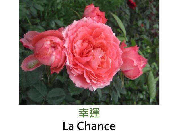豐花玫瑰,育出:法國,鮭橙色