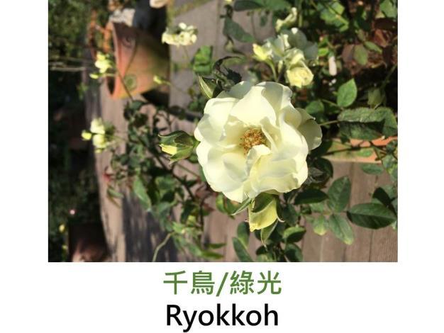 現代豐花矮叢玫瑰,育出:1999日本,淡檸檬黃色,重瓣杯狀平開