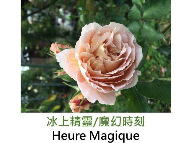 育出:2013日本,粉杏混合色,果香
