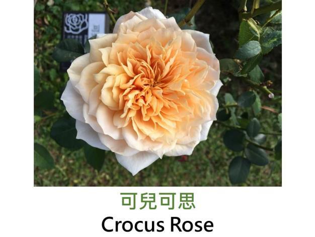 現代英國灌木玫瑰,育出:2000英國,杏黃鑲白,重瓣古典花形.茶香