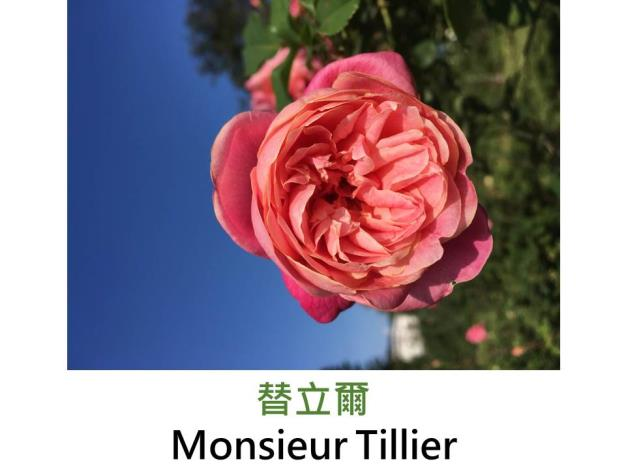 育出:1891法國,外瓣深內瓣淺橙粉紅,簇生重瓣平開型,中香