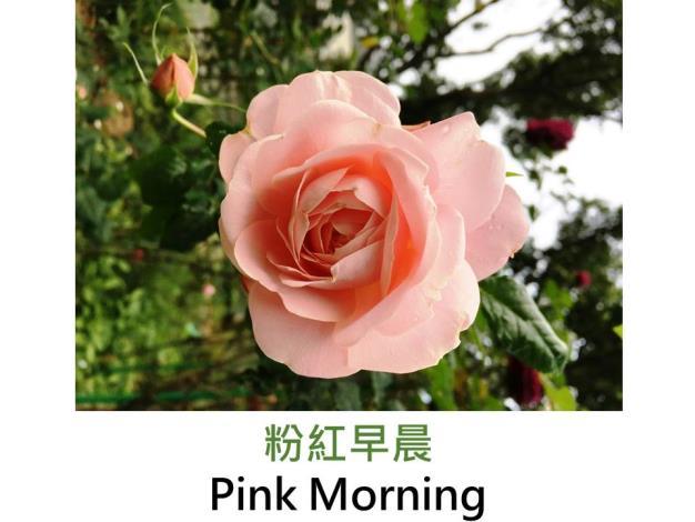 豐花灌木玫瑰,育出:2011前,美國,淺粉色,花心杏橘色,杯狀平開形,微香