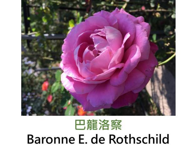 現代大花雜交茶香玫瑰,育出 : 1968法國,桃紅色高心,圓瓣花形,強香