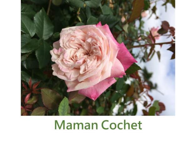 育出:1892法國.淺粉紅色.高心型.強香