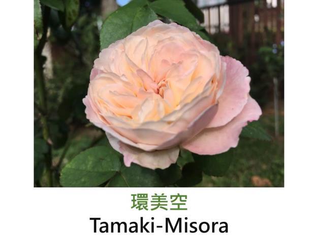 育出:2014前.日本.淺杏色.外瓣淺粉.杯狀花型.淡香.環的芽變種