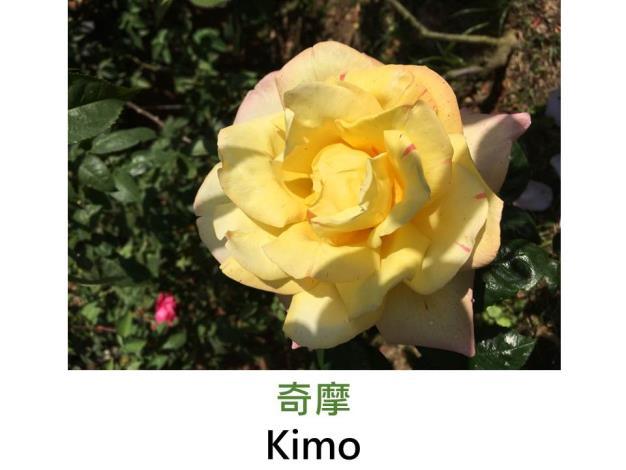 現代大花雜交茶香玫瑰,育出:台灣,瓣底淡黃瓣端粉紅覆輪色,粉色斑點,劍瓣高心形,中香