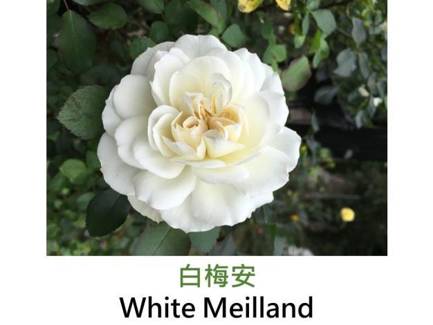 豐花灌木玫瑰,育出:1987法國,白色,簇生花形,微香