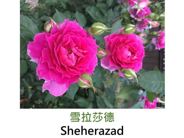 小型中輪豐花品種,育出:2014日本,深桃紅色微帶紫,花瓣微尖,中香