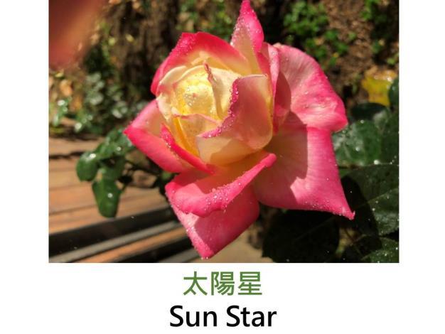 大輪,育出:2016台灣(芳香玫瑰園),奶油黃鑲紅邊,中香