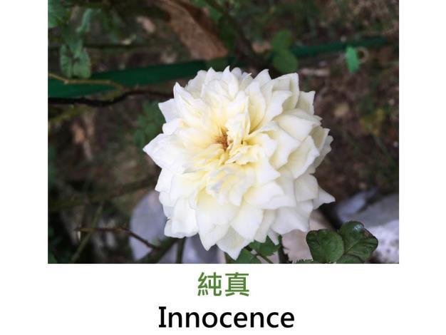 迷你玫瑰,育出:1997美國,白色重瓣,淡香
