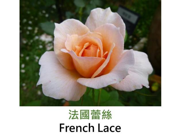 中輪豐花玫瑰,育出:1980美國,杏色,半劍瓣高心形,微香