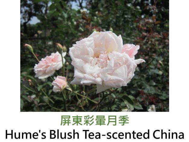 中國野生茶香玫瑰,育出:1810英國,粉紅色,半重瓣杯形,淡茶香