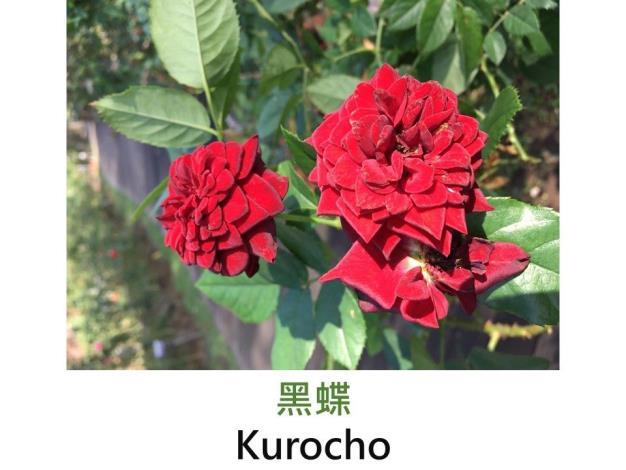 豐花.育出:2005日本.深黑紅色.淡香