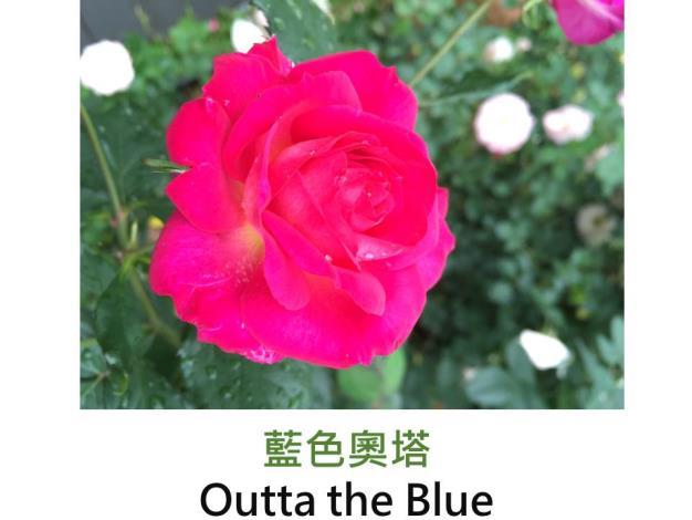 現代豐花矮叢玫瑰,育出:2000美國,濃桃紅色,圓瓣杯形,強香