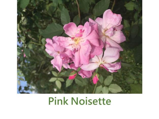 Pink Noisette.JPG