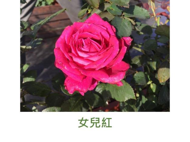 育出:2018台灣.桃紅色.高心型.濃香