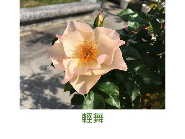 中輪豐花灌木.育出:2011台灣.單瓣.杏粉色