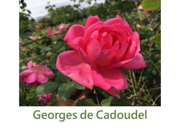育出:1904法國.胭脂粉紅色.銅色底.球狀.濃香