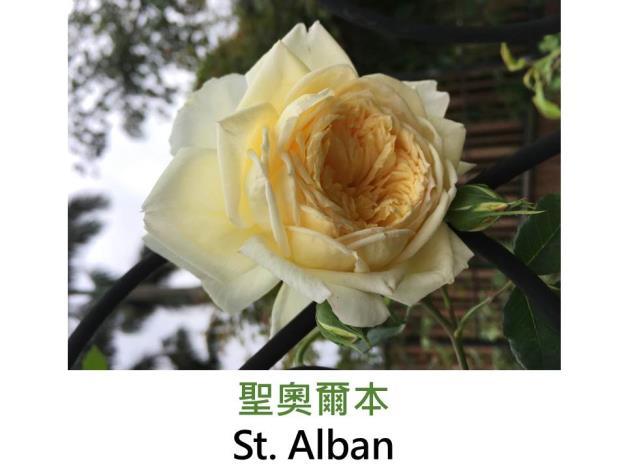 灌木玫瑰,育出:2004英國,黃色,杯狀彩球形,淡香