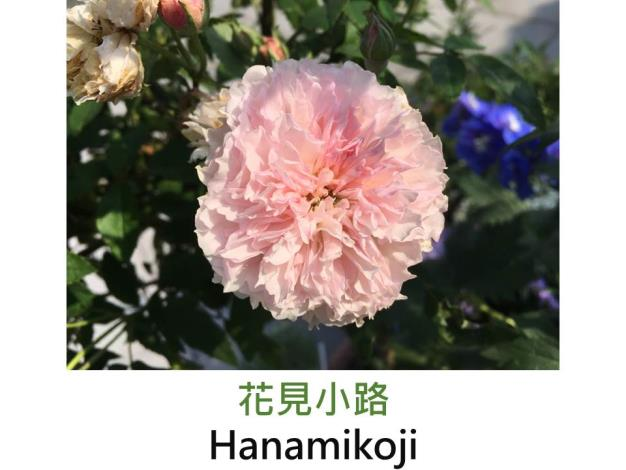 豐花迷你玫瑰.育出:2010日本.淺粉色.皺褶邊.淡香