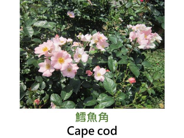 豐花中輪玫瑰,育出:1991丹麥,粉紅色單瓣,圓瓣平開形,微香