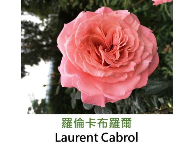 育出:2010法國,粉紅色,花瓣厚實,中香
