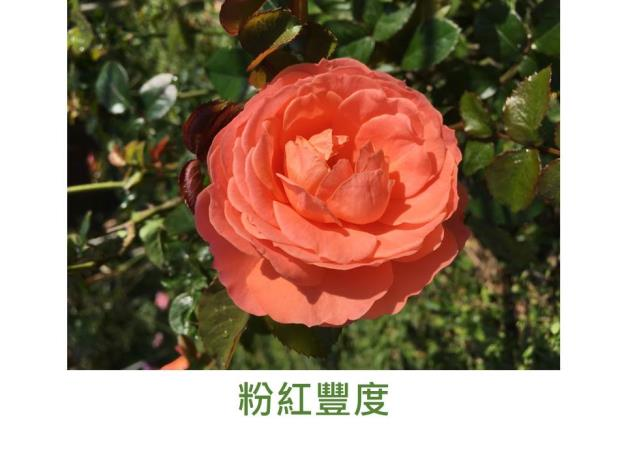 直立中輪豐花玫瑰,育出:英國,粉橘色,淡香