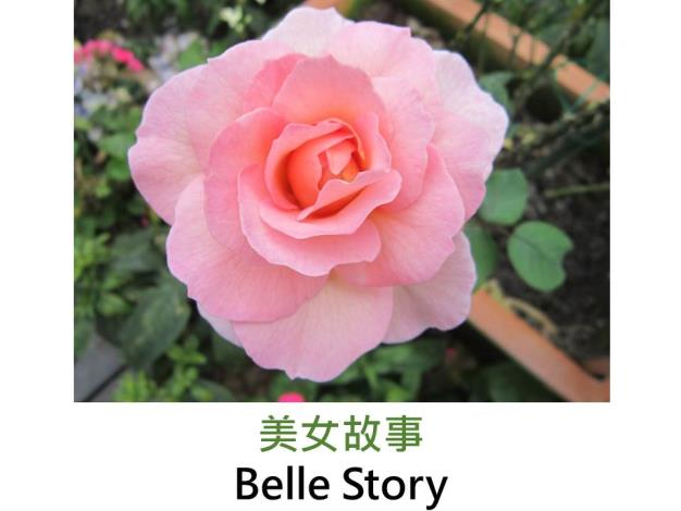現代英國灌木玫瑰,育出:1984英國,淺粉,重瓣平開花形,微香