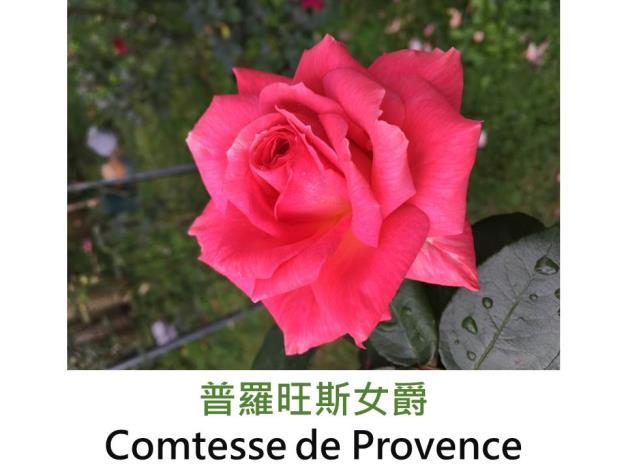 現代大花雜交茶香玫瑰,育出:2001法國,粉橘色,圓瓣杯形,強香