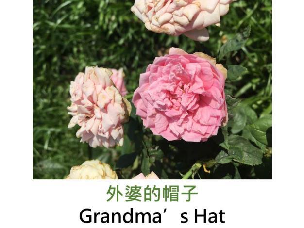 發現:1972美國,粉紅色,古典花型,濃香,葉片芳香
