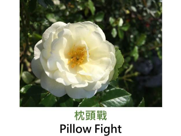 現代灌木玫瑰 ,育出:2000美國,白色,半重瓣杯形,清淡香甜