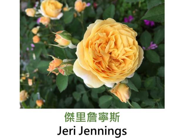 育出:2007美國,金黃至淡黃色,球狀花形,強香