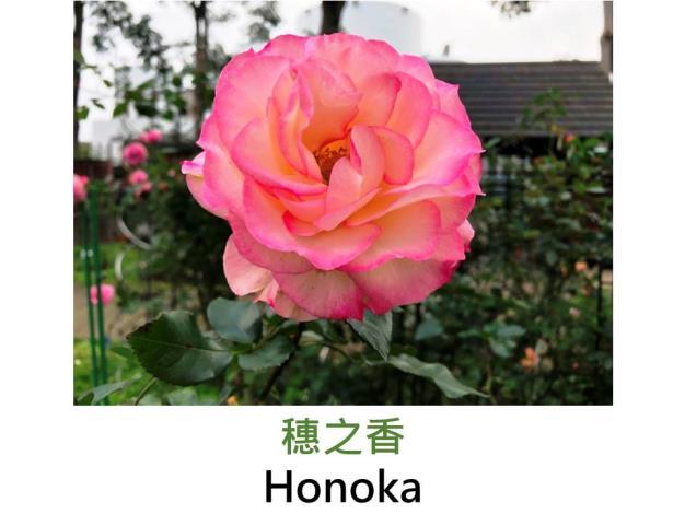 中輪豐花玫瑰,育出:2004日本,白底桃色覆輪,依光線改變顏色,圓瓣平開形,微香