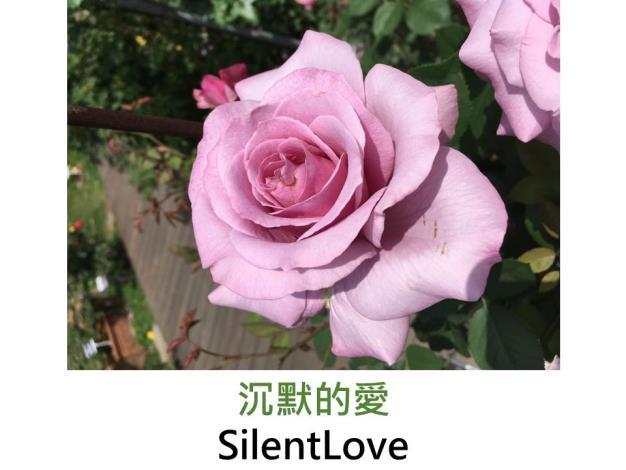 育出:2008日本,粉紅色,瓣緣波浪,強香