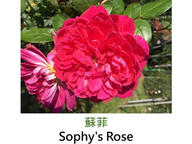 現代英國灌木玫瑰,育出:1997英國,紅色,菊瓣古典平開形,濃香