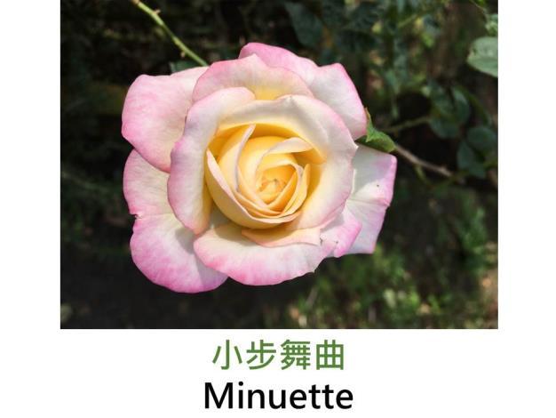 現代豐花矮叢玫瑰,育出:1969美國,粉白鑲紅邊,重瓣碗狀,淡香