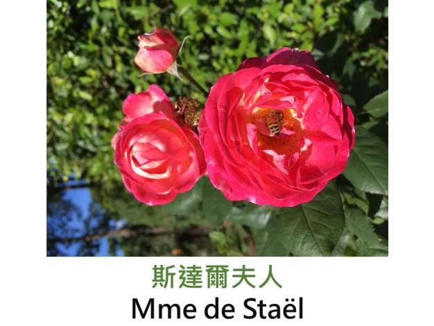 豐花玫瑰,育出:2009前,法國,鮭粉紅色,瓣背白,圓形綻放,濃香