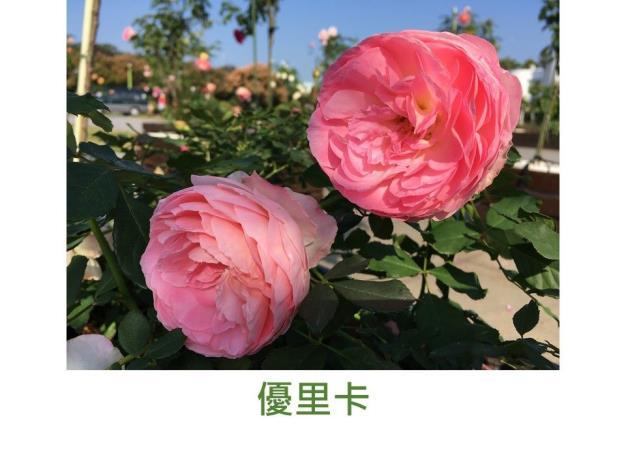 中輪豐花.粉紅色.古典花型.甜香