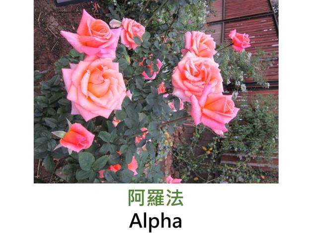 現代大花雜交茶香玫瑰,育出:1975法國,粉色,高心劍瓣花形,中香