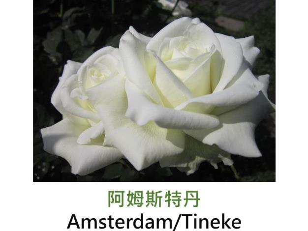 現代大花雜交茶香玫瑰,育出:1978 德國,白色,外瓣略綠,高心劍瓣花形,微香